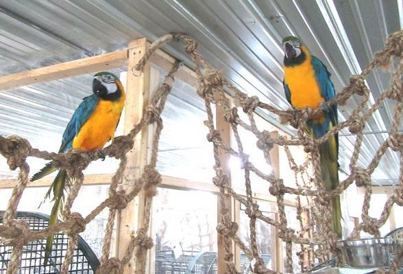 Two Blue & Gold Macaws perched at the top of two different parrot cargo net toys.
