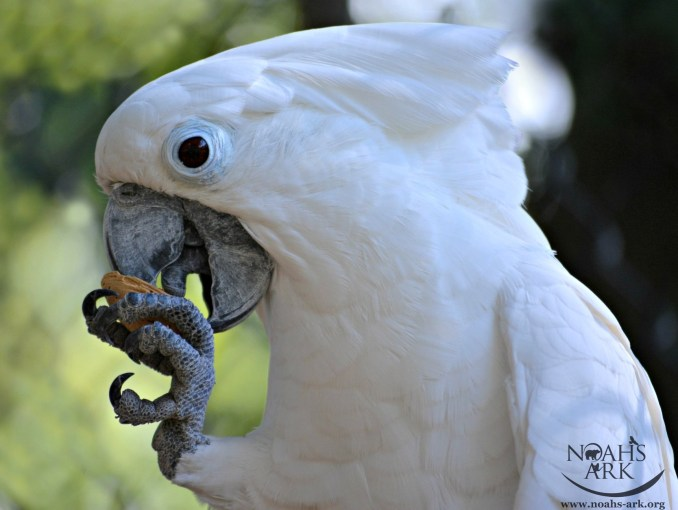 A close-up of an Umbrella Cockatoo holding an almond in his foot and eating it out of the shell