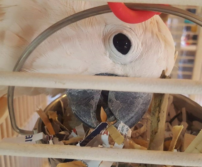 A close-up view of a Moluccan Cockatoo's face, eye looking directly at the camera, while his beak digs through a stainless foraging bucket filled with paper, wood, and other foraging toys.