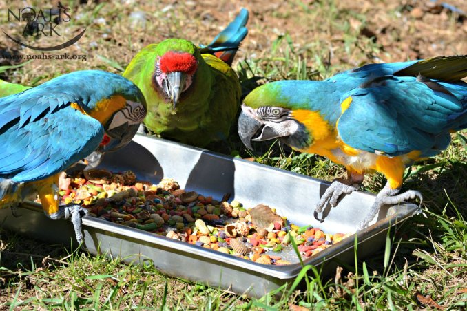 3 Macaws outside on the ground, feeding on colorful parrot food pellets served in a stainless container
