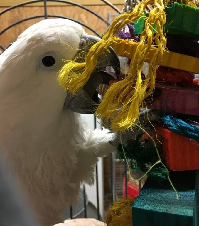 An Umbrella Cockatoo in a cage, chewing on a purple block of wood which is part of a large bird toy