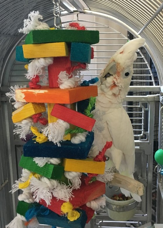 Goffin's Cockatoo in a cage, looking startled with his crest up next to a large, colorful wood toy