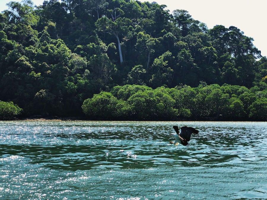 langkawi eagle feeding