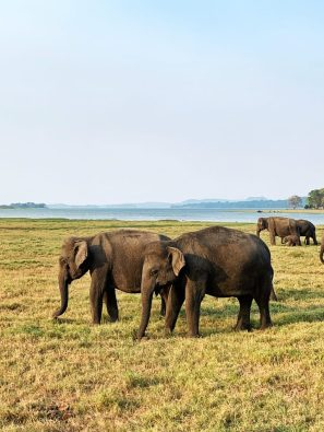 Minneriya National Park Elephants