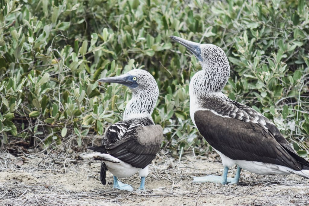 blue footed booby isla de la plata