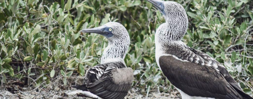 blue footed booby isla de la plata