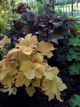 "Happy Heucheras ""Chocolate Ruffles"" and ""Caramels"""