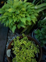 Hosta, Mint and Marjoram