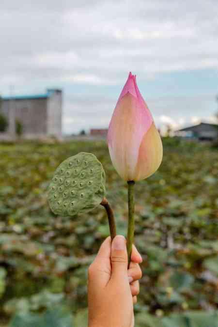 Lotus Flower in Hand