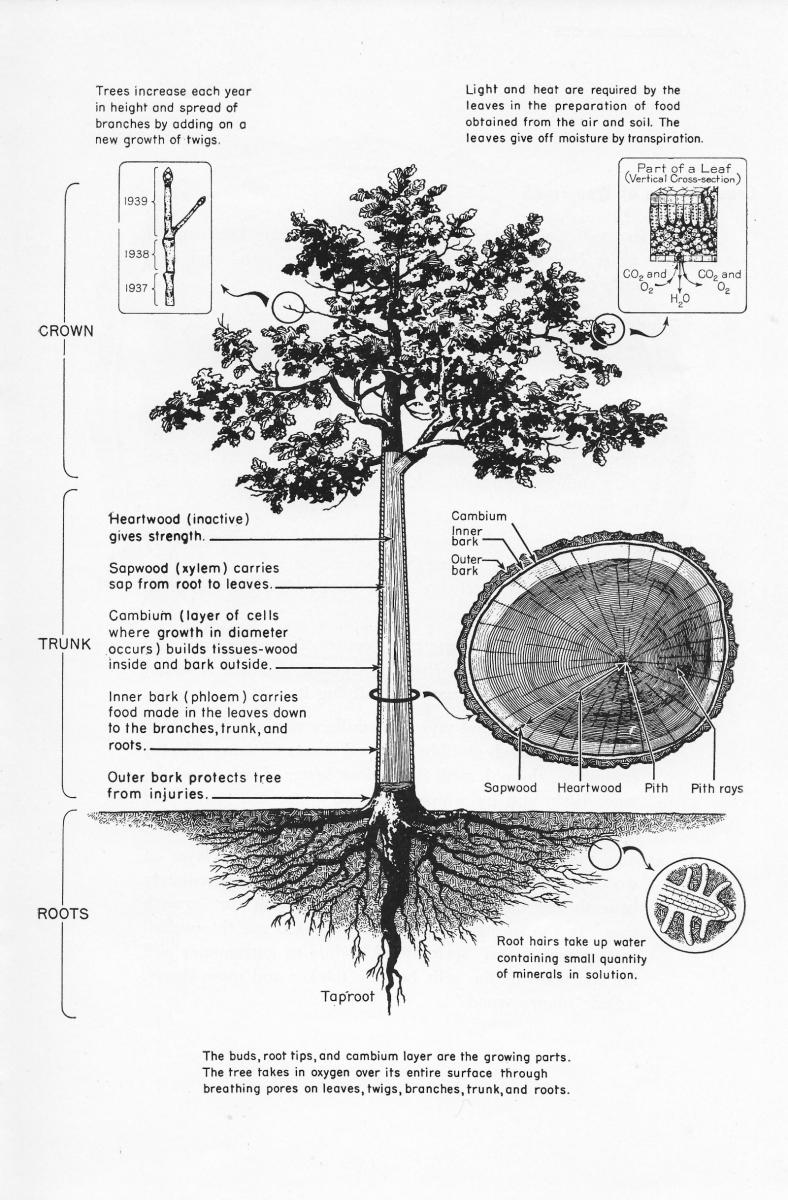 small resolution of tree growth illustration illustrated by u s forest service