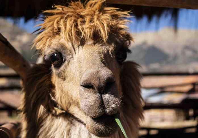 Can you believe he's real!!??! How cute right!? His fur was so soft! I may want one!! #alpaca #alpacasofinstagram #jetlagawesomeness #peru #travelblog #travelperu #travel #
