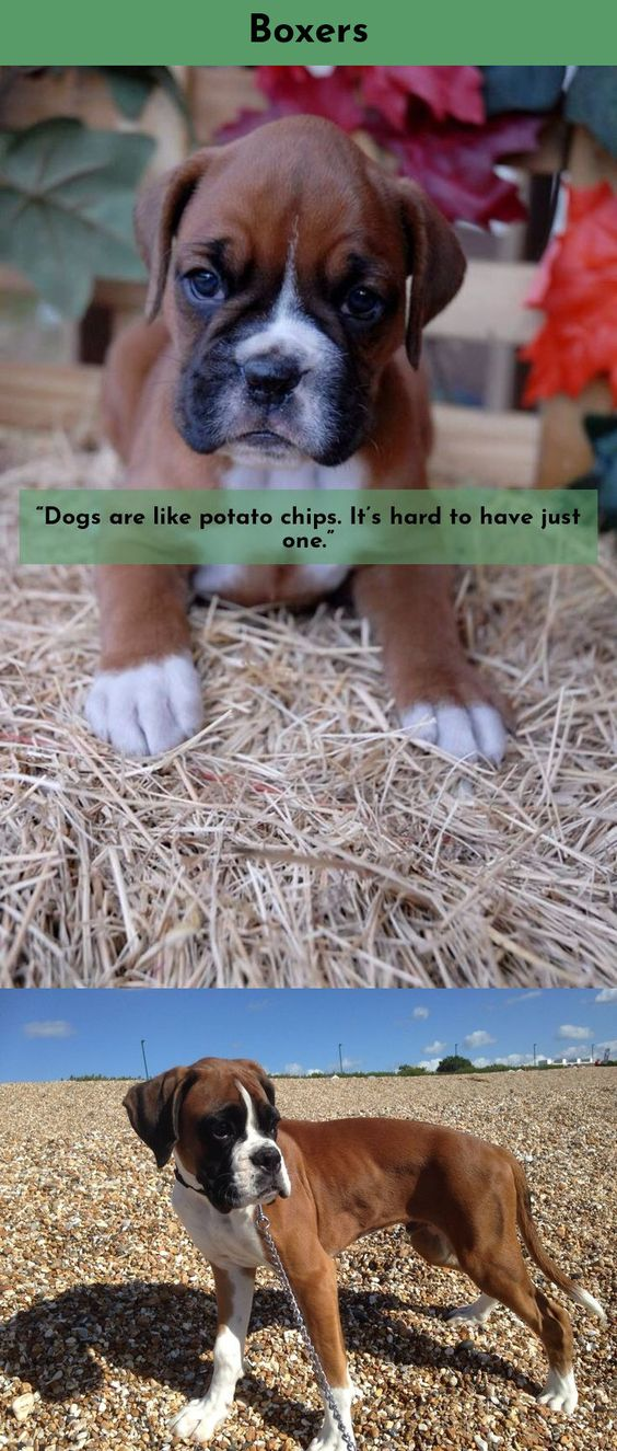 Funny Boxer Dog Pictures : funny, boxer, pictures, Funniest, Boxer, (Memes), Known