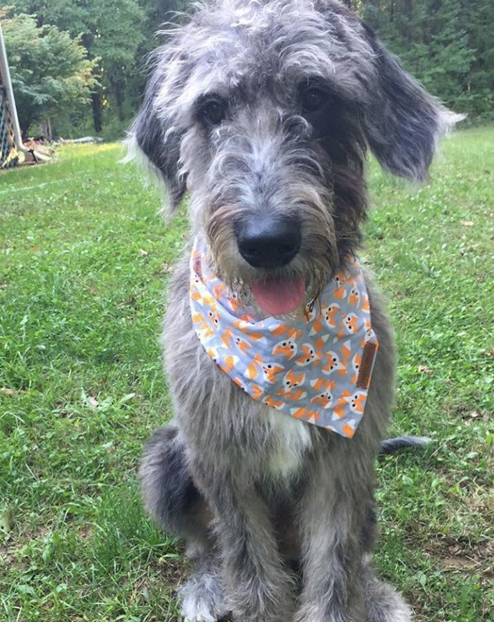 Great Danoodle Puppies For Sale Near Me : great, danoodle, puppies, Great, Poodle, Danoodle, Petfinder