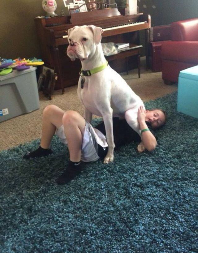 Boxer Dogs Doing Funny Things : boxer, doing, funny, things, Reasons, Boxer, Worst, Breed