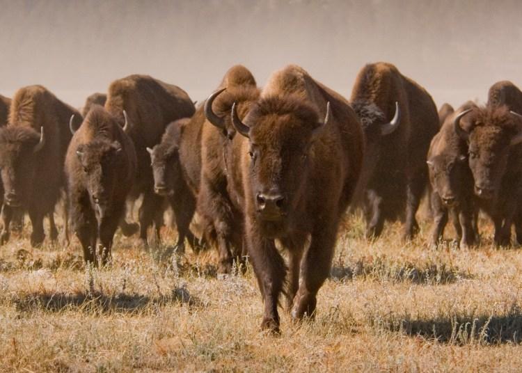 Roaming Buffalo in Custer State Park