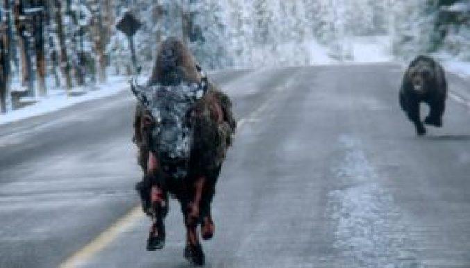 Bear-Chasing-Bison