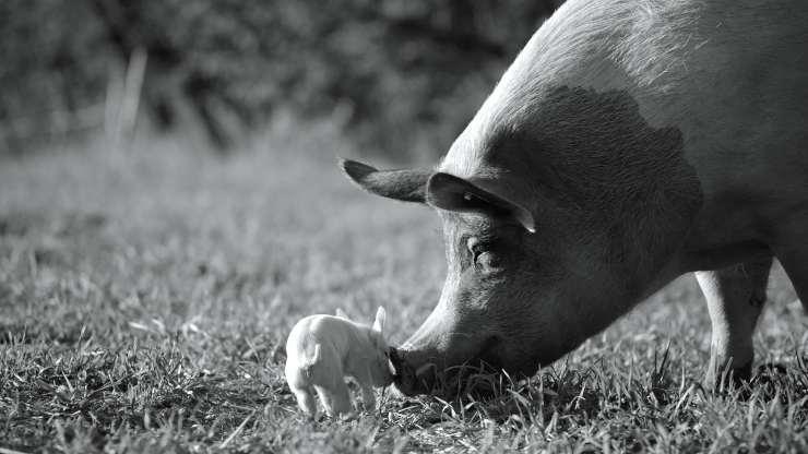 Live Like Pig In UK Trailer For Gunda