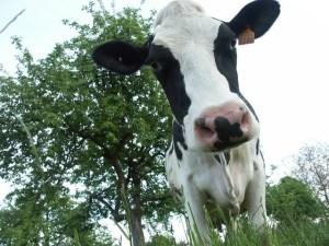 cow-3-1545957-640x480