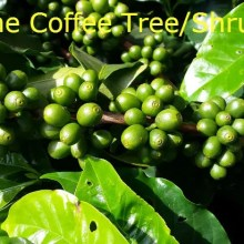 the coffee bush or tree
