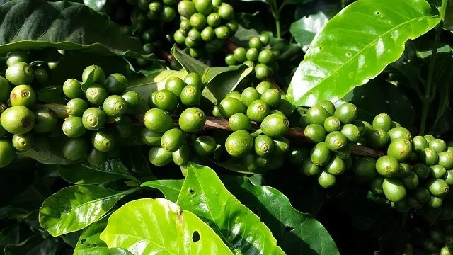 the coffee plant with cherries