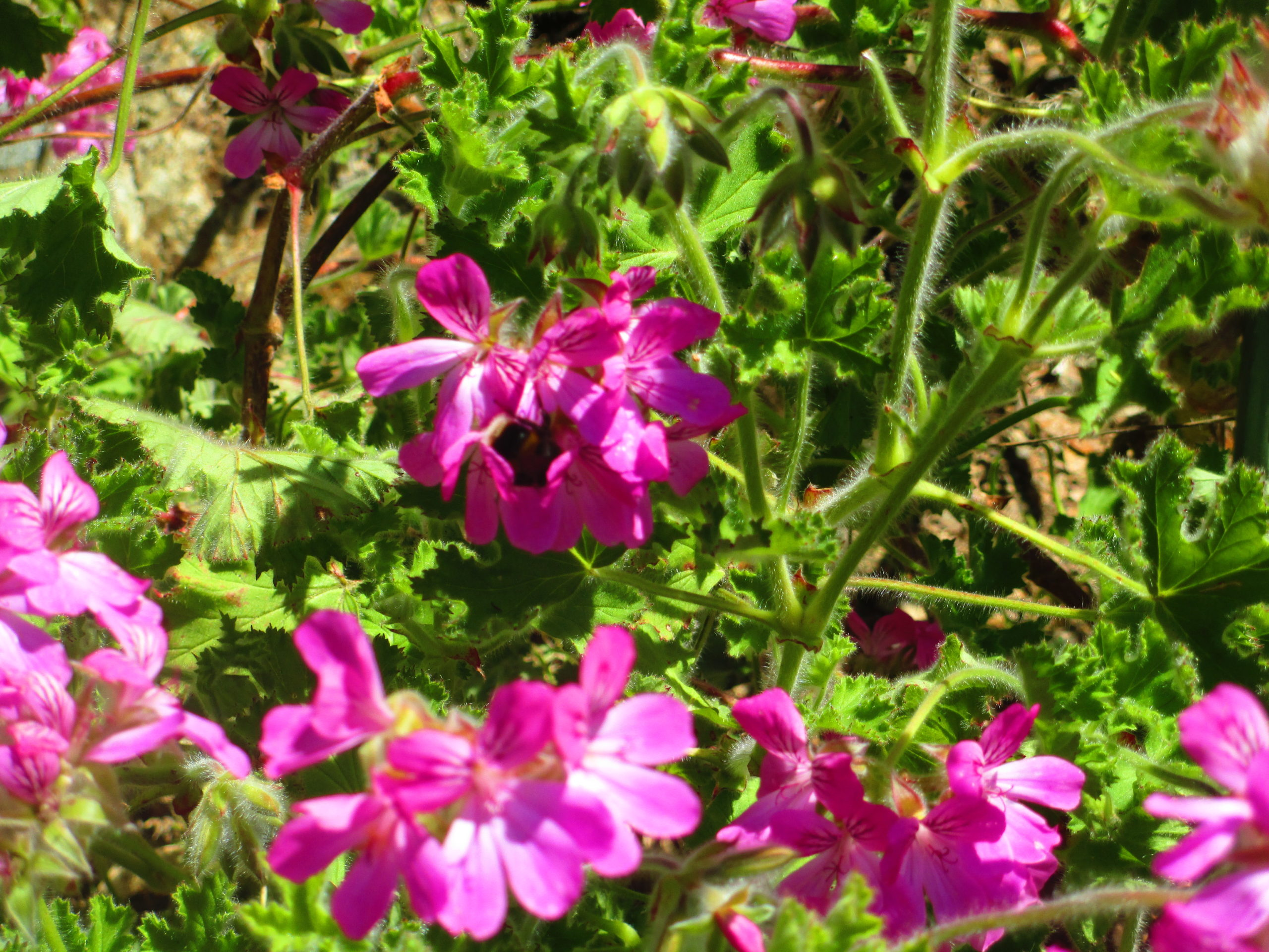 A gorgeous Geranium in my garden with a cute bumble bee enjoying it's sweet nectar