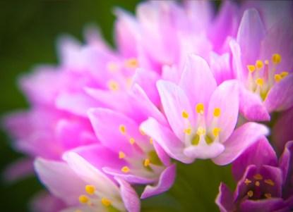 Rose Garlic