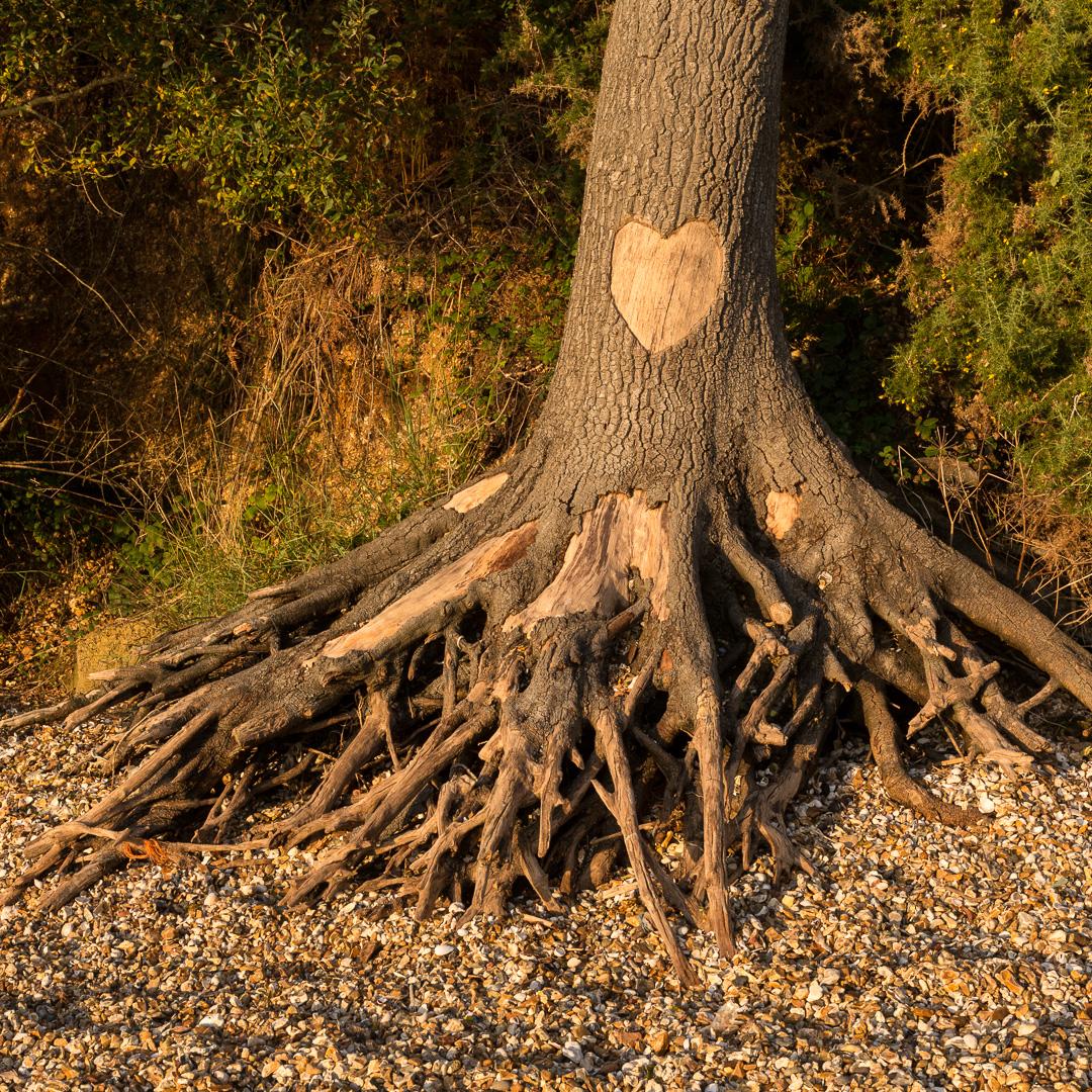 Heart Tree, Royal Victoria Country Park, Hampshire.