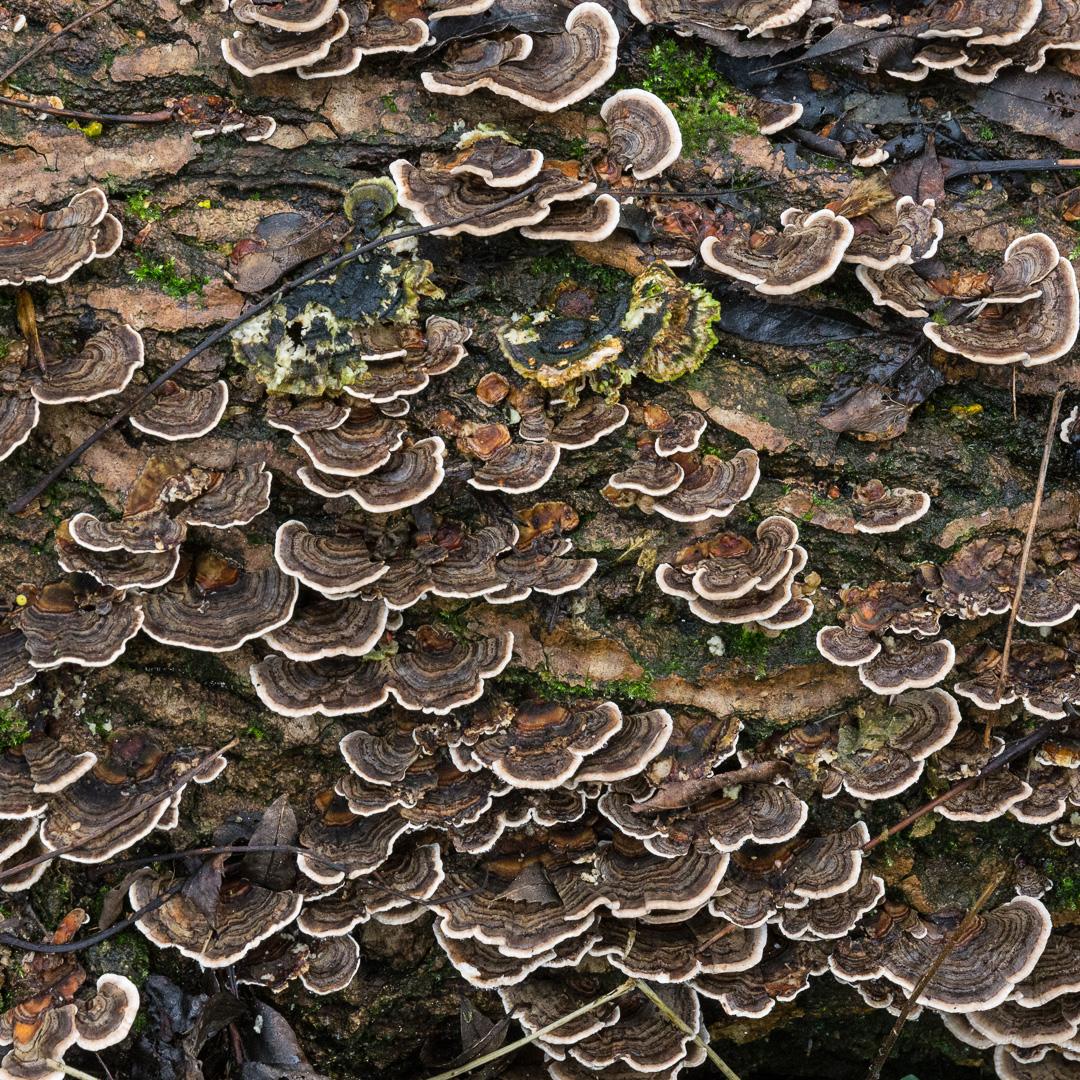 Rainbow Bracket Fungi, Lyme Regis Undercliffs, Devon.