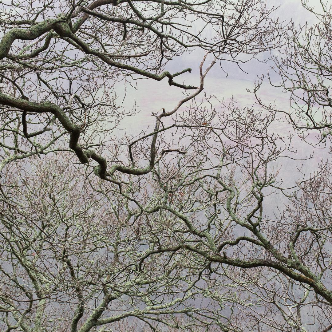 Oak boughs, Long Wood, River Dart, Devon