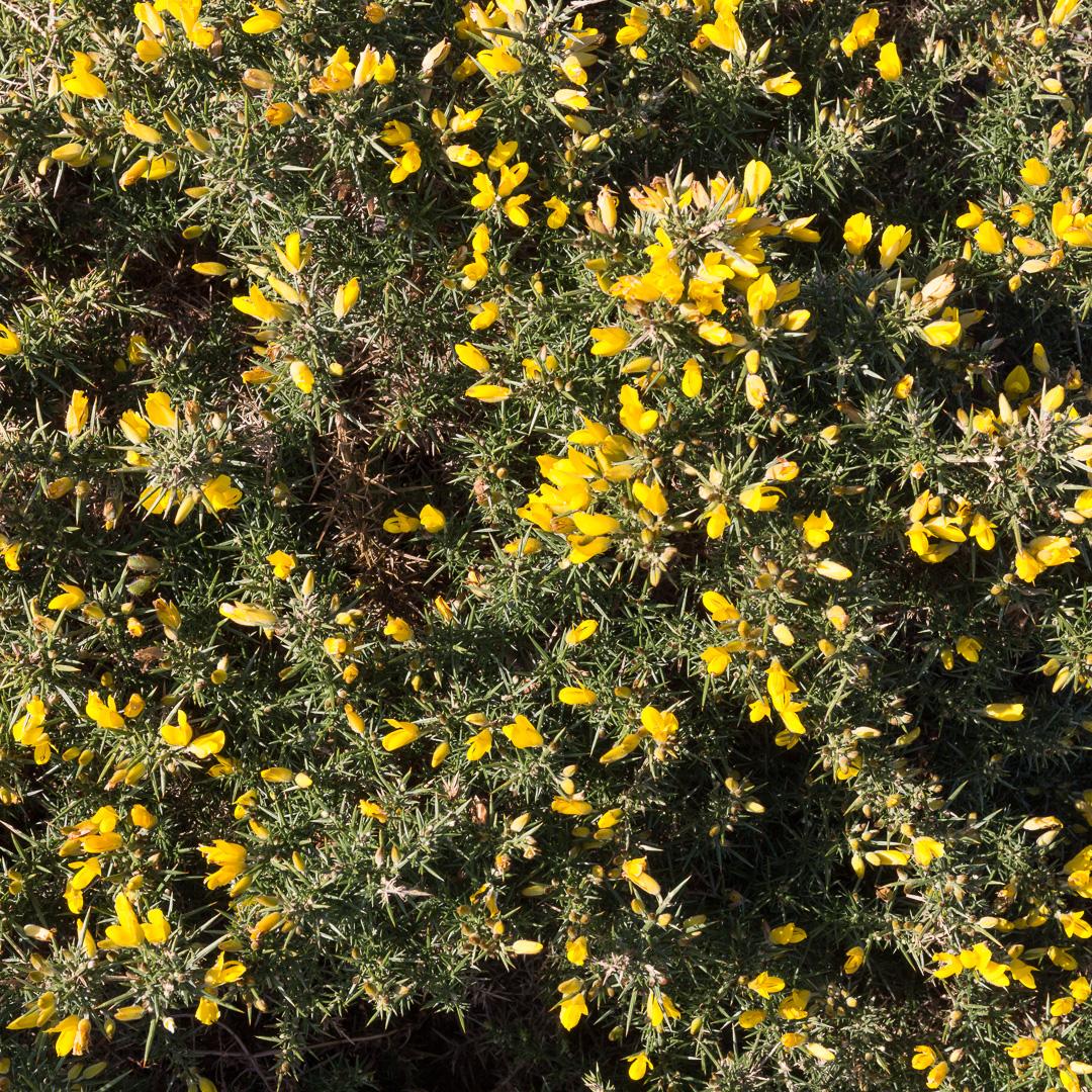 Gorse blossom, Bolt Head, Devon.