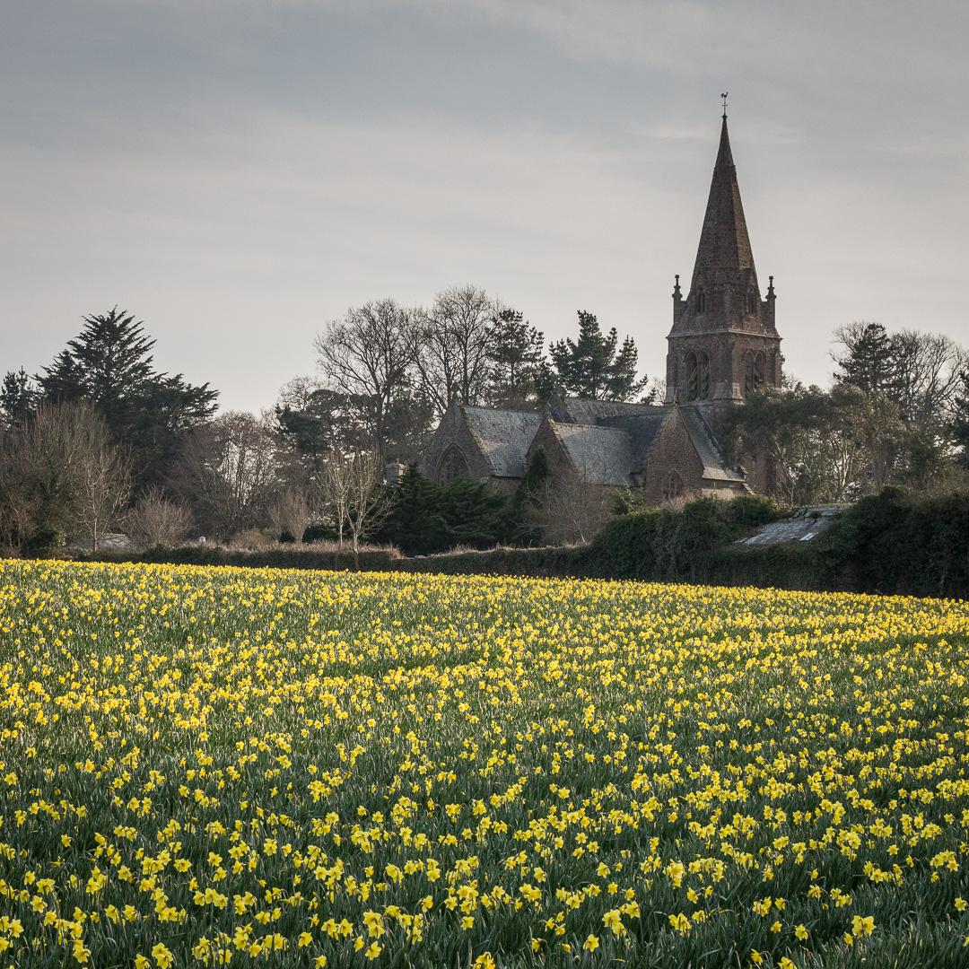 Daffodil field by Mayfield Church, Torpoint, Cornwall.