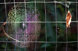 Purple Spider Web