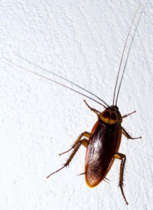 How Many Baby Roaches Are In A Egg : roaches, Roaches, ThePestKillers