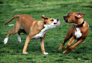 Aggression toward unfamiliar dogs