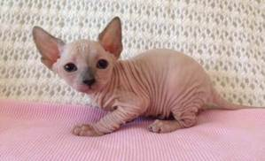 Tips to Take Care of Sphynx Cats