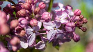 Close Up Lilacs