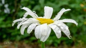 Rain Dropped Daisy