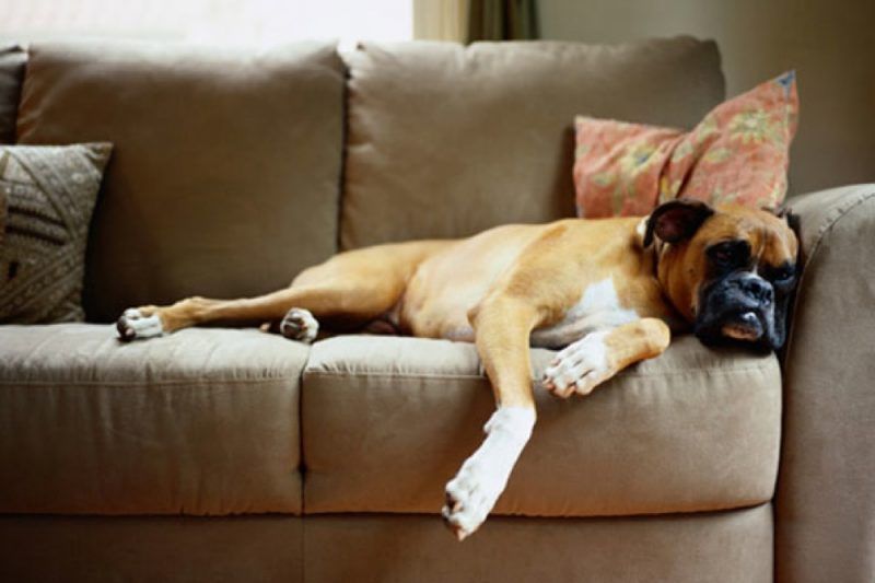 Couch Potato 101 As Taught By 10 Of The Laziest Dogs You Ll