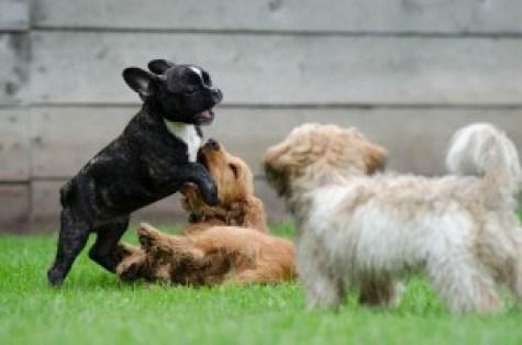 puppies socializing