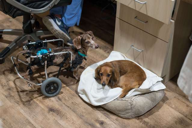Dschshund in wheelchair