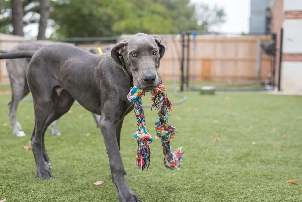 Great dane with toy