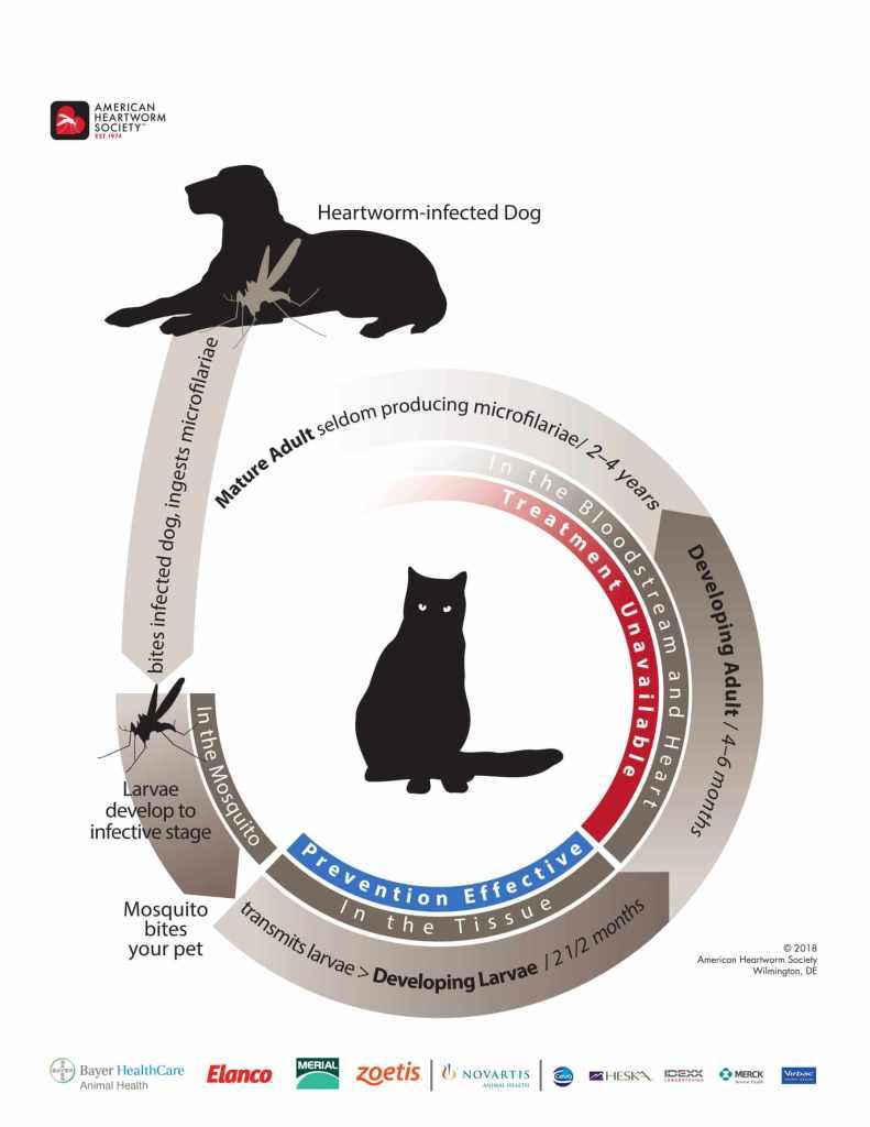 Feline Heartworm Disease Life Cycle