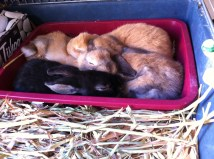 A tray of bunnies