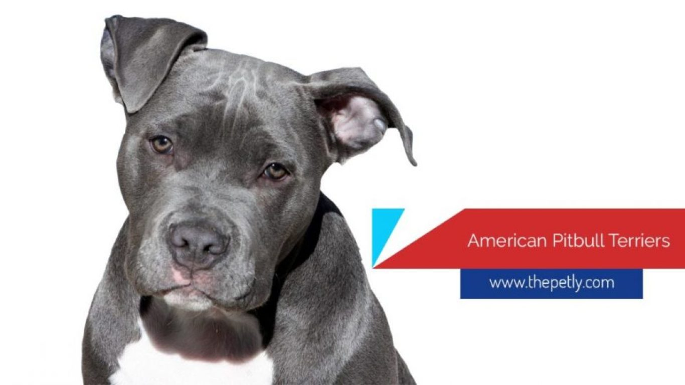 Image of The American Pitbull Terrier Breed