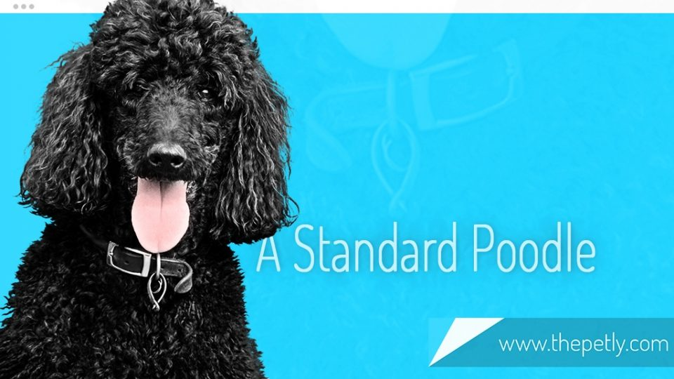 A Picture of A Standard Poodle Dog Breed