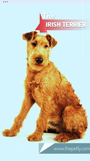 Image of the Irish Terrier dog breed