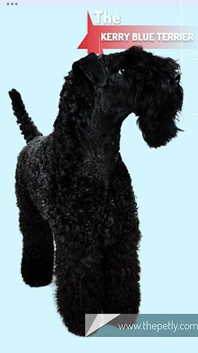 The image of the Kerry Blue Terrier dog breed