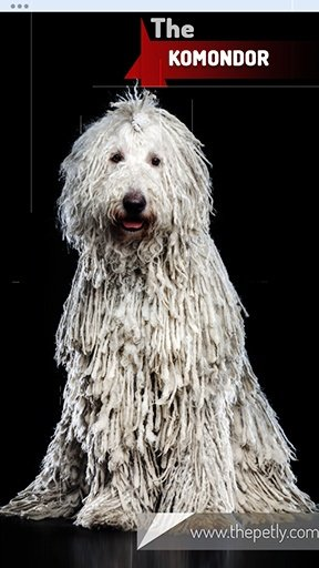 The image of the Komondor dog breed