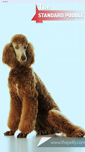 Image of the brown Standard Poodle dog breed sited