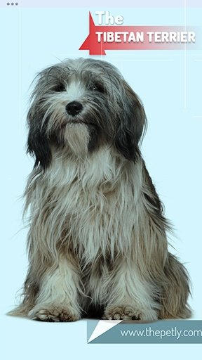 The image of the Tibetan Terrier dog breed